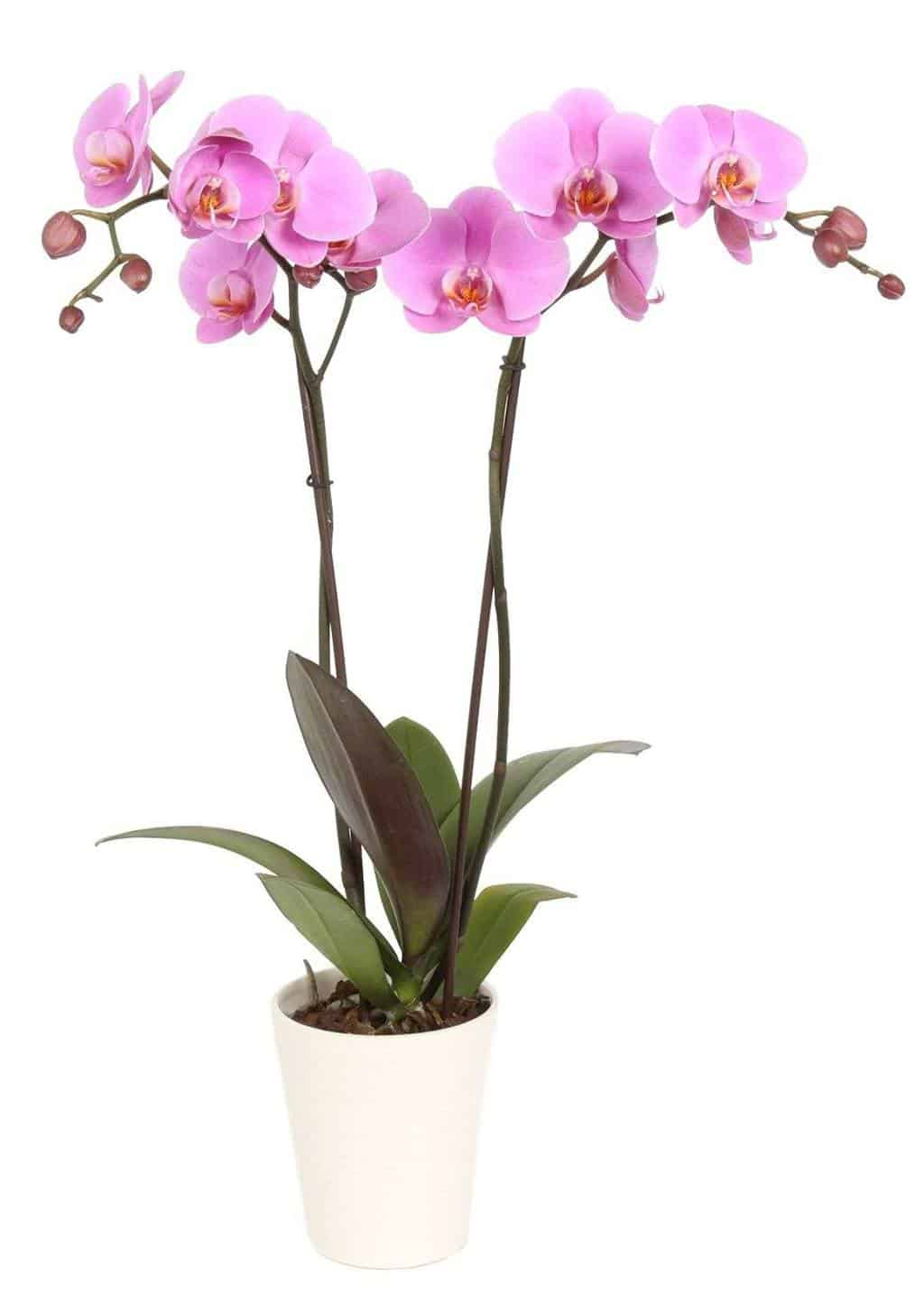 Color Orchids Orchid Pot